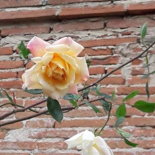 rose maison hôtes