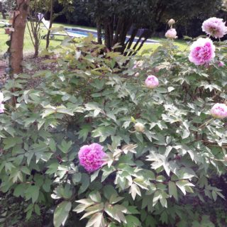Massif de pivoines en fleurs dans le jardin