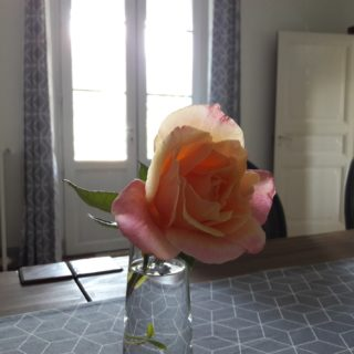 Old garden rose in a flower pot in the dining room