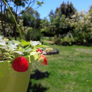 Premières fraises du jardin 100% bio