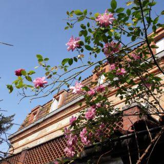 Magnifiques petites roses anciennes devant la maison