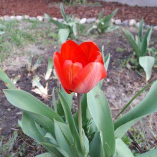Jolie tulipe rouge dans le jardin de la maison d'hôtes